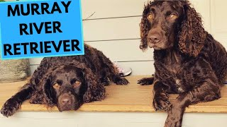 Murray River Retriever Dog Breed  Facts and Information
