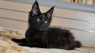 Элвис черный котенок мейн-кун