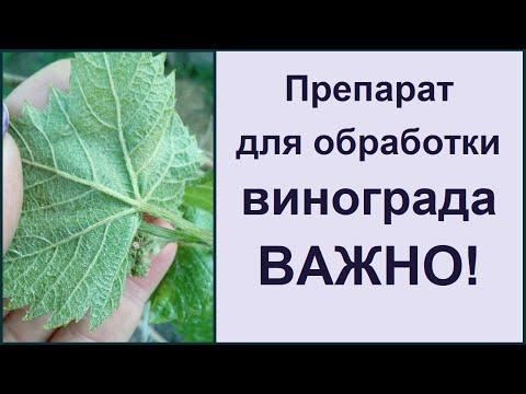 Самая страшная болезнь винограда! Обработка винограда!