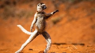 The Dancing Verreaux's Sifakas - Berenty, Madagascar HD