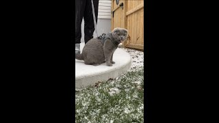 Scottish Fold Cat's 1st Snowfall