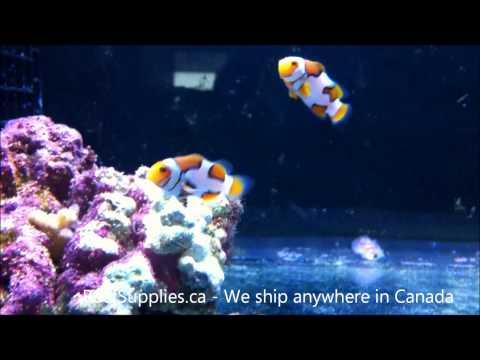 Picasso Clownfish (Amphiprion Percula) Canada