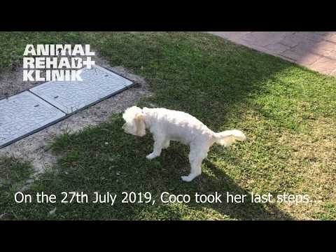 Coco, the little dog with a big heart thumbnail