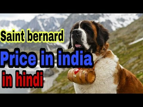 Saint bernard Price in india part 2 in hindi    All states price are given    dogs biography