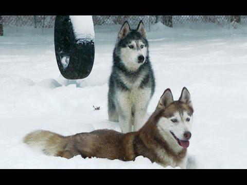 Siberian Huskies Play in NJ Blizzard 2016 - Mishka & Laika