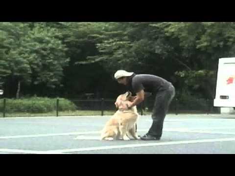 犬のしつけ:森田流でしつけた犬(ゴールデンレトリバー)