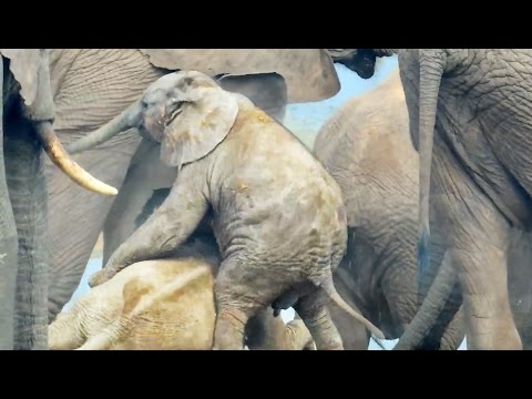 Baby Elephant's Piggy Back Ride Goes Adorably Wrong