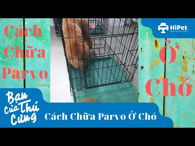 Cách Chữa Parvo Ở Chó - HiPet