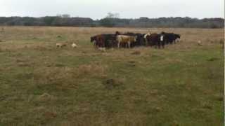 Fojtik's Blackmouth Cur Cow Dogs