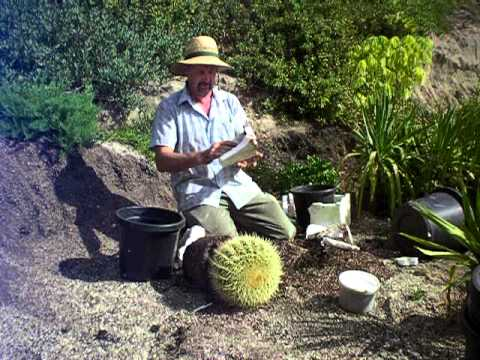 repotting a large barrel cactus safely.MOV