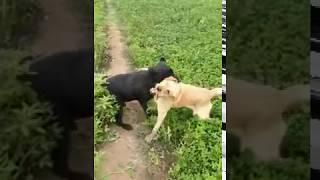 Labra dog meeting in Fields