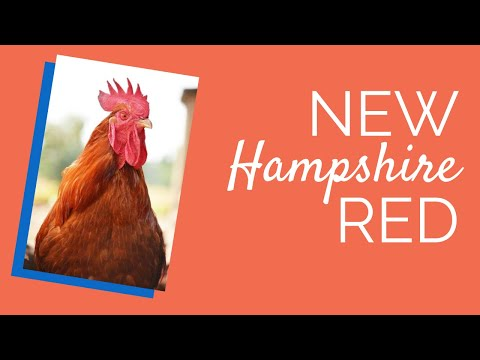 New Hampshire Red Chickens for Sale | Chickens For Backyards