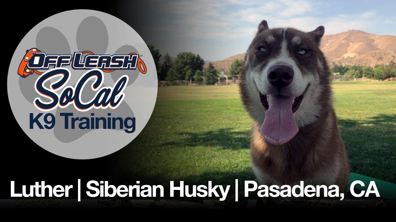 Luther | Siberian Husky | Pasadena, CA