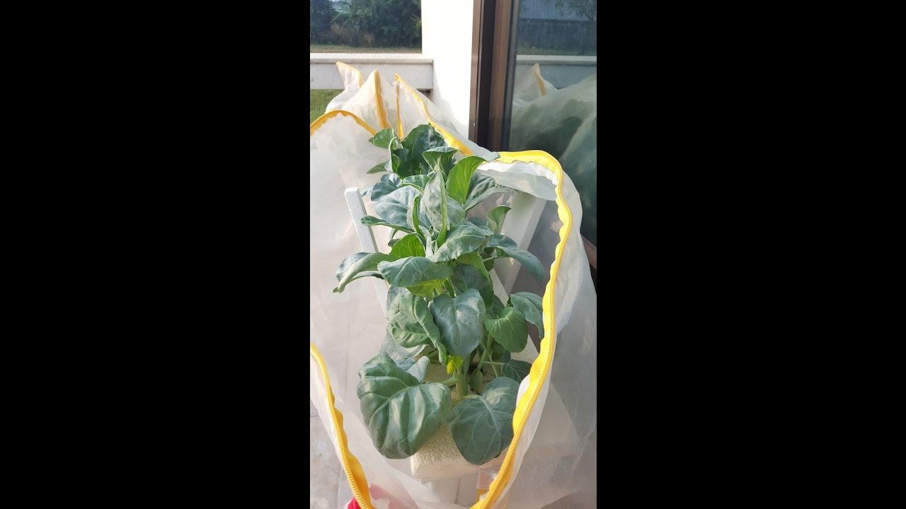ปลูกผักไร้ดิน ตอนคะน้าฮ่องกงไร้ดิน & การเก็บผัก (ปลูกสไตล์ผักบ้าน..บ้าน)