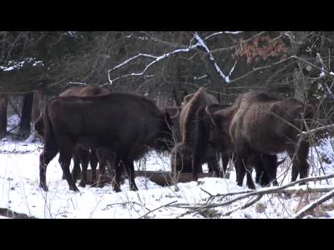 Bison cubs in Neamt County - Vanatori Natural Park