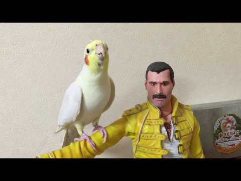 Cockatiel sings Another One Bites The Dust&Radio GaGa