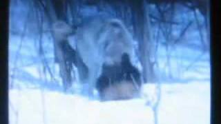 wolf vs wolverine