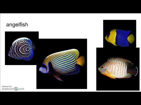 Freshwater Angelfish Facts