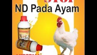 Budidaya Ayam Pedaging Cerme Gresik dengan Viterna Plus