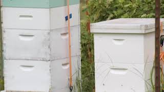 Growing Buckwheat for Bees