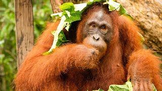 Volunteer with Orangutans at Nyaru Menteng Orangutan Sanctuary in Borneo  |  The Great Projects