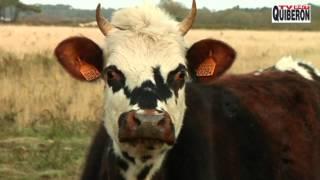 Les animaux des Paysans -  TVBI Belle-Ile Télévision