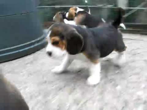 Beagle-Welpen #8