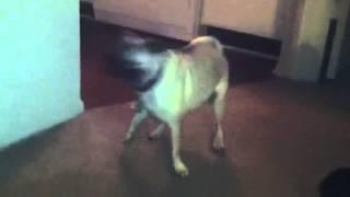 Pug Zoomies