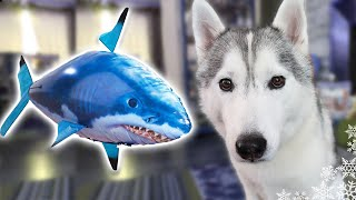 DOGS REACT TO RC SHARK   Shark Week 2017   Husky vs Shark