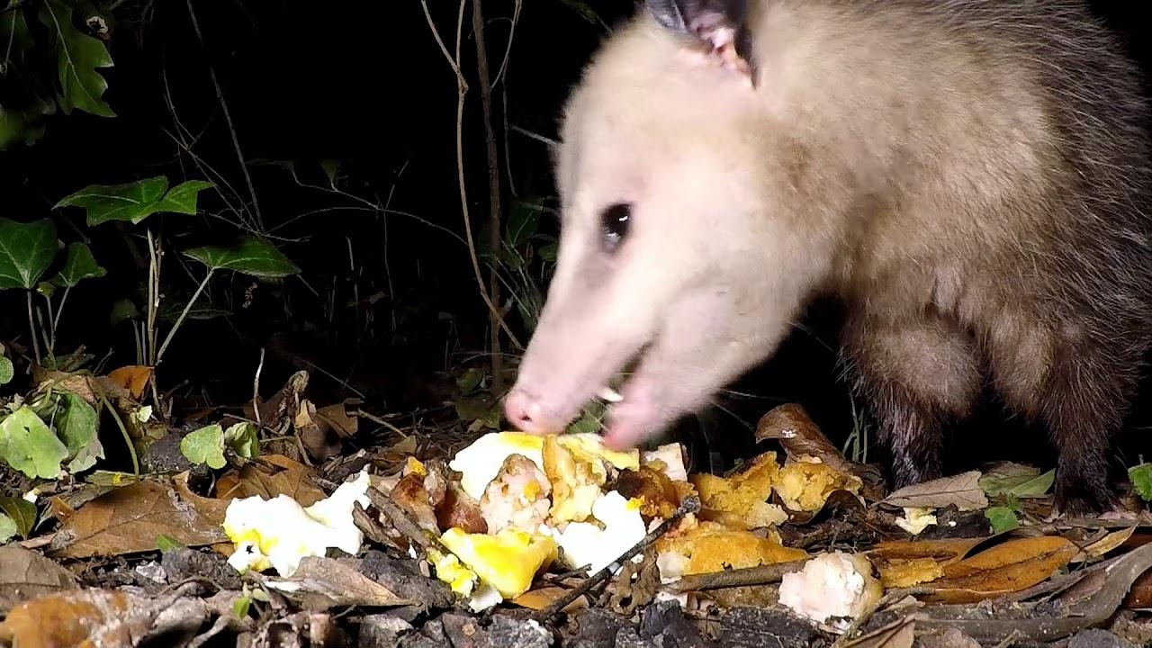 Possum eating armadillo eggs in my yard / Mississippi ...