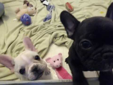 French Bulldog Puppies ~ Oregon French Bulldog Breeders ~ Jewel and Elle Pups