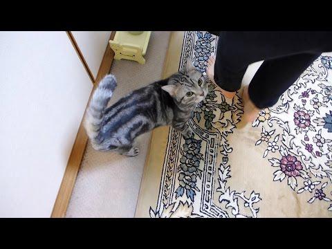 トイレに行きたくて鳴く猫