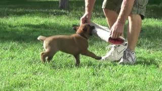 Dracke x Ipsy pups 5-1/2 weeks 2016 08 20