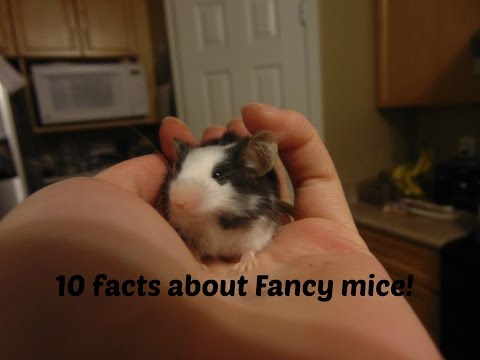 10 Facts about Fancy mice!