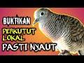 Panggilan Perkutut Lokal Ampuh Burung Merbok Suara Burung Perkutut Lokal  Mp3 - Mp4 Download