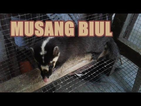 Jenis Musang Biul Civet From Indonesia Youtube
