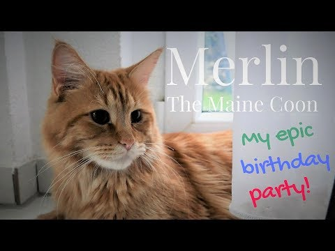 Merlin the Maine Coon (12 Months) - MY EPIC BIRTHDAY PARTY!