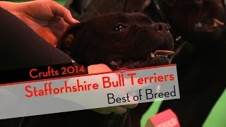 Crufts 2014 - Staffordshire Bull Terrier Best Of Breed