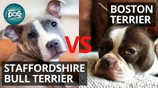 Staffordshire Bull Terrier VS Boston Terrier