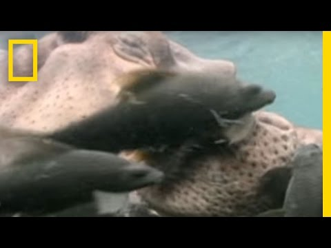 Hippo Spa   National Geographic