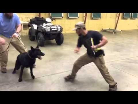 nacho-civil-german-shepherd-dog-for-sale