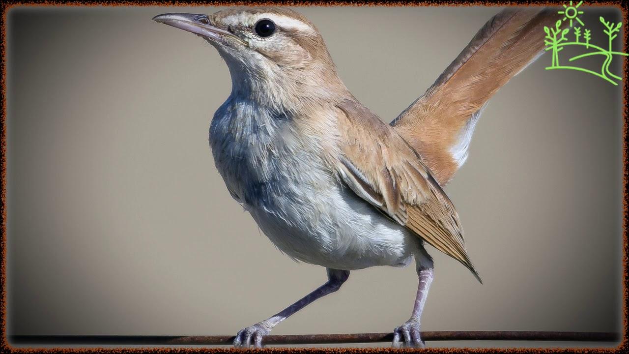 Голоса птиц Как поёт Соловей тугайный (Cercotrichas galactotes)