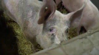 Bedfordia Farms (Viva! pig farm investigation)
