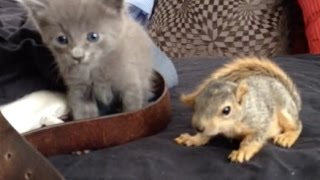 Kitten and baby squirrel meet