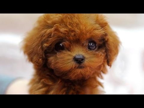 Omg Micro Chocolate Poodle Puppy You Are Going To Want To