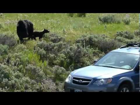 Car Alarm Scaring Bears at Yellowstone