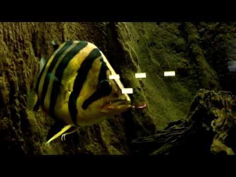 潑辣的印尼虎混養缸 --- Indonesian Tiger Fish Tank