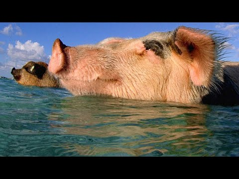 These Swimming Pigs Live a Cushy Lifestyle in the Bahamas