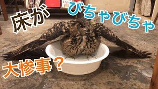 【ミミズクの豪快水浴び!】ゆうくんの水浴び
