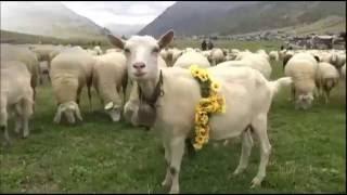 Необычные путешествия: Чабан на один день | Индивидуальный тур в Италию  |(Индивидуальный тур в Италию. Необычный тур: Чабан на один день. Один день итальянского чабана - пастух овец...., 2016-06-07T09:07:42.000Z)